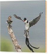 Male Pin-tailed Whydah In Mating Display Wood Print