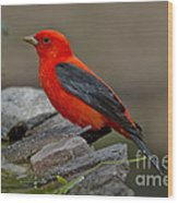 Male Scarlet Tanager Wood Print