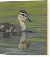 Mallard Duck Swimming In Marsh Pond Wood Print