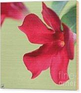 Mandevilla Named Sun Parasol Crimson Wood Print