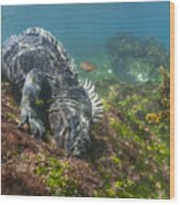 Marine Iguana Feeding On Algae Punta Wood Print