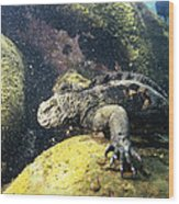 Marine Iguana Grazing On Seaweed Wood Print