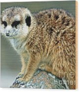 Meerkat Suricata Suricatta Wood Print