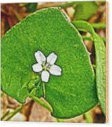 Miner's Lettuce In Park Sierra Near Coarsegold-california  Wood Print