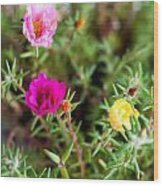 Mixed Portulaca Wood Print