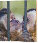 Monkey Species Cebus Apella Behind Bars Wood Print