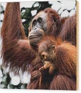 Mother And Baby Orangutan Borneo Wood Print