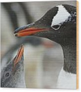 Mother And Chick Gentoo Penguins  Wood Print