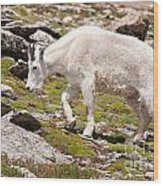 Mountain Goat On Mount Evans Wood Print