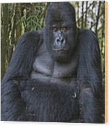 Mountain Gorilla Silverback Wood Print