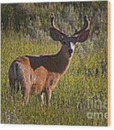 Mule Deer Buck In Velvet   #2164 Wood Print