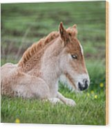 New Born Foal, Iceland Purebred Wood Print