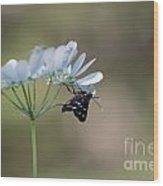 Nine-spotted Moth Wood Print