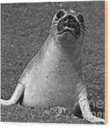 Northern Elephant Seal Weaner Wood Print