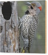 Northern Flicker At Nest Cavity Alaska Wood Print