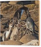 Nz Yellow-eyed Penguins Or Hoiho Feeding The Young Wood Print