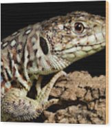 Ocellated Lizard Timon Lepidus Wood Print
