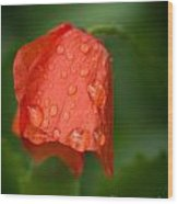 Orange Tulip Wood Print