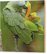 Orange-winged Parrot Amazona Amazonica Wood Print