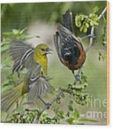 Orchard Orioles Wood Print