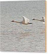Pair Of Flying Trumpeter Swans Cygnus Buccinator Wood Print