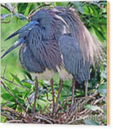 Pair Of Tricolored Heron At Nest Wood Print