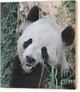 Panda Eating Wood Print