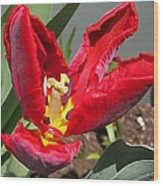 Parrot Tulip Named Rococo Wood Print
