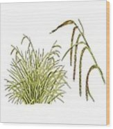 Pendulous Sedge (carex Pendula) Wood Print