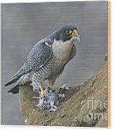 Peregrine Eating Pigeon Wood Print