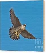 Peregrine Falcon In Flight Wood Print