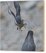 Peregrine Falcons Mating Wood Print
