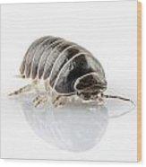 Pill-bug Armadillidium Vulgare Wood Print