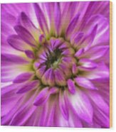 Pink Dahlia Close Up Wood Print