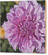 Pink Dahlia Wood Print by Peter French