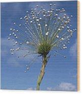 Pipewort Grassland Plants Blooming Wood Print