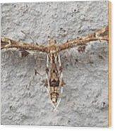 Plume Moth Wood Print