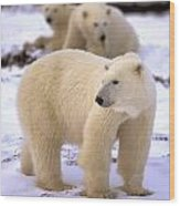 Polar Bear Family Wood Print