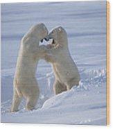 Polar Bear Males Sparring Churchill Wood Print