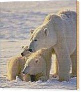 Polar Bear Mother And Cubs Wood Print