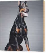 Portrait of a black dobermann Wood Print