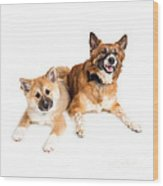 Icelandic Sheepdog Puppy And Adult  Wood Print