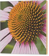 Purple Cone Flower Echinacea Wood Print