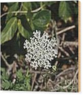 Queen Anne's Lace Wood Print