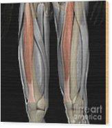 Rectus Femoris Muscles Wood Print