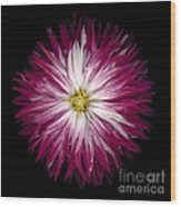 Red And White Dahlia Wood Print