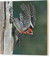 Red-breasted Sapsucker Wood Print