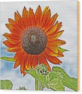 Red Face Sunflower At Olympia Wood Print