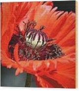 Red Orange Poppy Wood Print