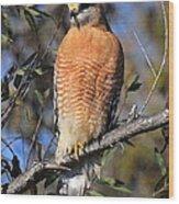 Red Shoulder Hawk Wood Print